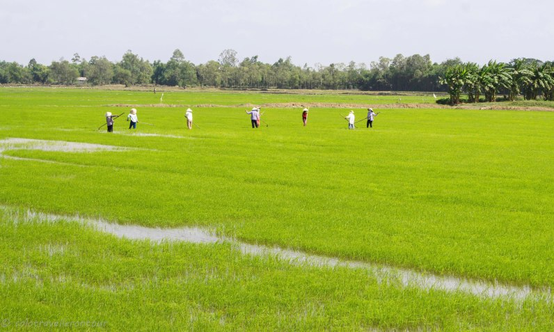 Locals working hard on the rice fields