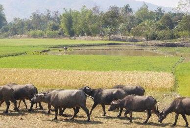 Rice paddies and water buffalo - so typcial Vietnam