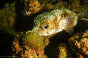 Puffer fish (Copyright Dive!Dive!Dive!)