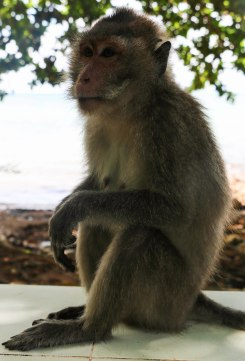 "The local ""cheeky"" monkey"