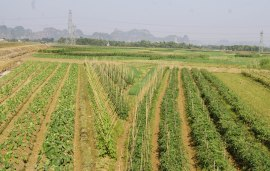 Vegetable fields instead of rice paddies