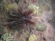 Sea urchin (Copyright Dive!Dive!Dive!)