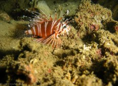 A baby lion fish (Copyright Dive!Dive!Dive!)
