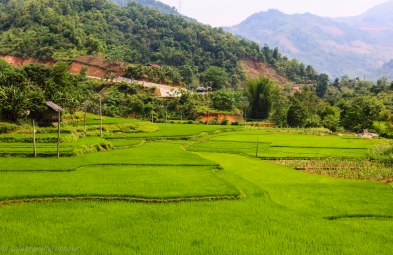 Rice fields outside of Bao Lac