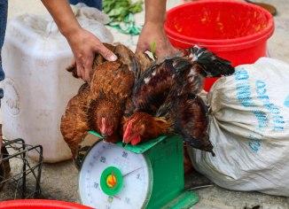 Weighting the chicks