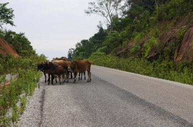 One of thew reason to ride carefully - cattle on the road