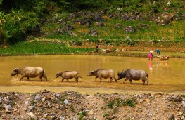 A water buffalo story