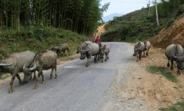 Water buffaloes blocking the road