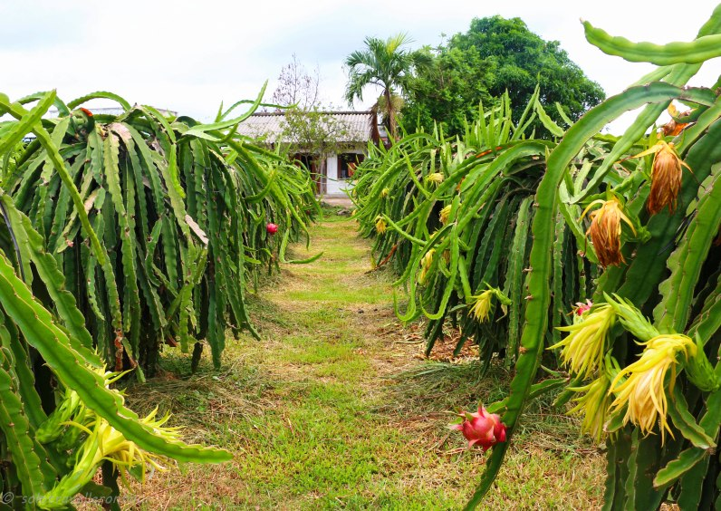 Dragon fruit plantation