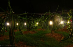 Dragon fruit plantation by night in September when lights help to grow the fruits