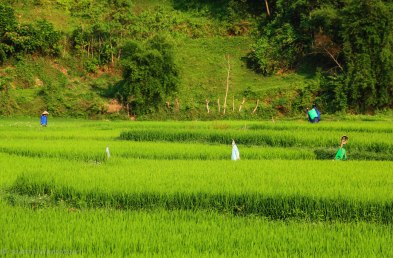 Locals working in the rice fields