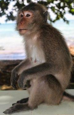 Watch the little monkey running around the beach