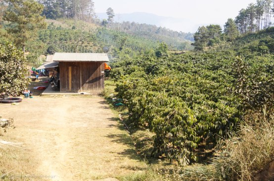 A very small coffee plantation