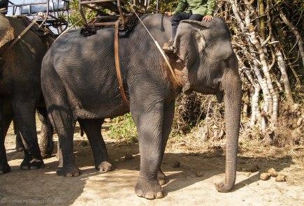 One of the elephants at Lak lake
