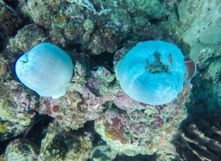 Strange looking anemone - home of the famous clownfish