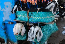 Perfectly stored and behaved goats