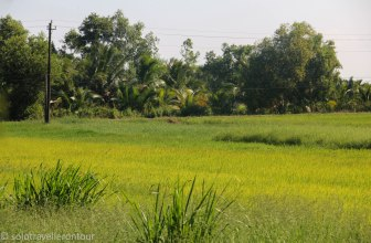 Golden rice fields everywhere