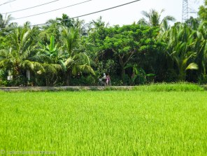 I just love the sights of rice fields