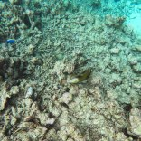 Watching a titan triggerfish